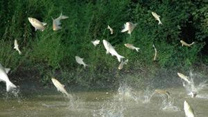 Show 8: Atlantic Salmon, Asian Carp, Black Fly & Mosquito, Trout & Orillia Perch Festival