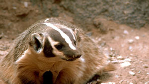 Show 13: Badgers, Guides, Mineral Fountain, Hit Squad and more
